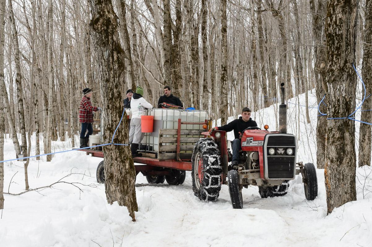 Chargés d'eau d'érable, le tracteur se dirige vers la cabane.