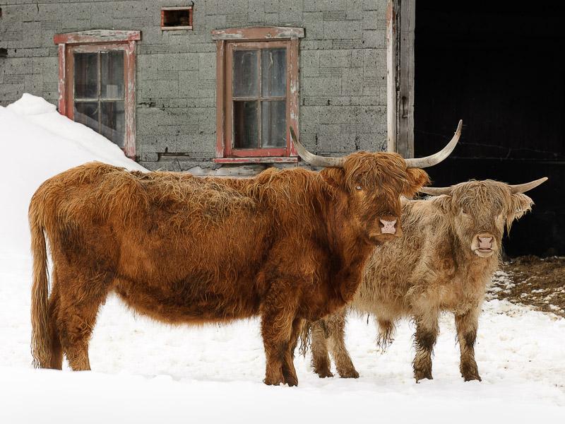 Interaction avec des boeufs highlands!
