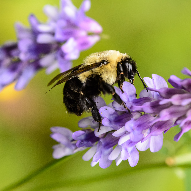 Un de mes pollinisateurs préférés, le bourdon!