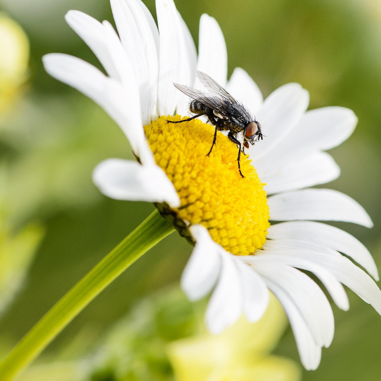Mouche posée sur une fleur de marguerite.