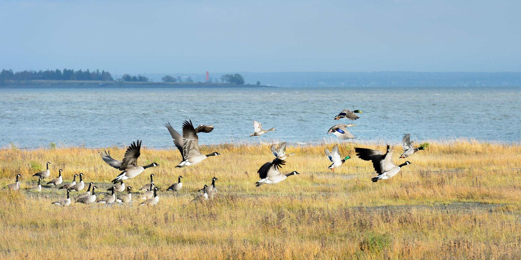 Cohabitation canards et bernaches