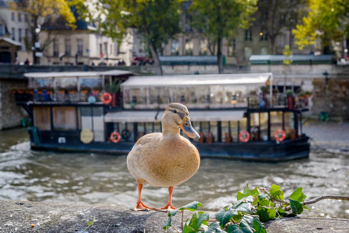 Un canard sympathique rencontré près de la Seine!