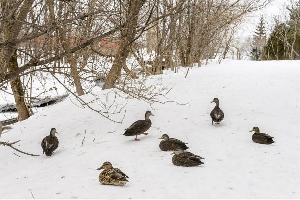 Quelques canards qui profitent d'une journée plus douce ...