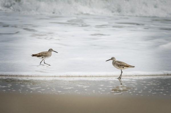 Bécasseaux sur la plage d'Ocean Beach.