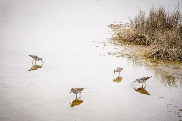 Bécasseaux en train de se nourrir dans un marais de Bayside Drive (Maryland).